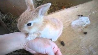 Baby rabbit lick their hands