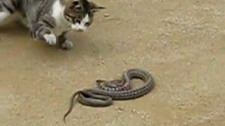 Cat against snake