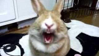 Rabbit yawn