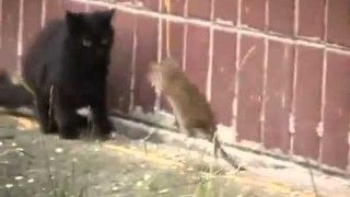 Giant Russian Rat Attacks Cats