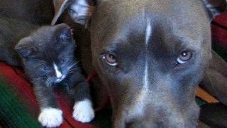 Pitbull VS. Kitten (Lukah & Dexter)