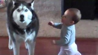 Husky Communicates With Baby