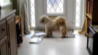 Shih Tzu Attacks Mail Delivery