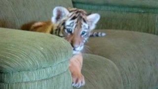 Tiger cub playing with a dog
