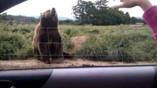 Bear say Hello