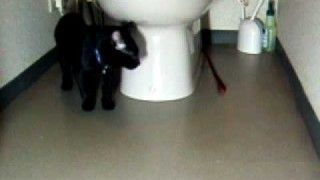 A cat around the toilet