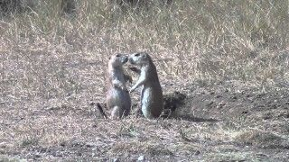 2 groundhogs kissing
