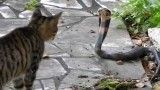 Brave Cats Fights To Animal