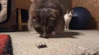 A cat attacks … a cricket