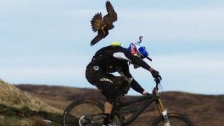 A Falcon attacks a biker