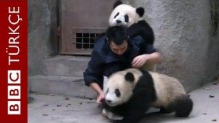 A vet tries to vaccinate 2 Baby Pandas