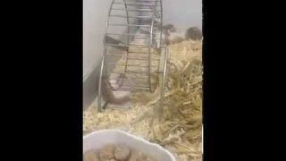This Hamster is running a wheel upside down